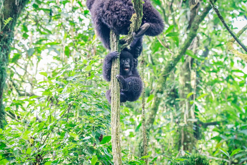 Горилла горы младенца играя в дереве стоковые изображения rf