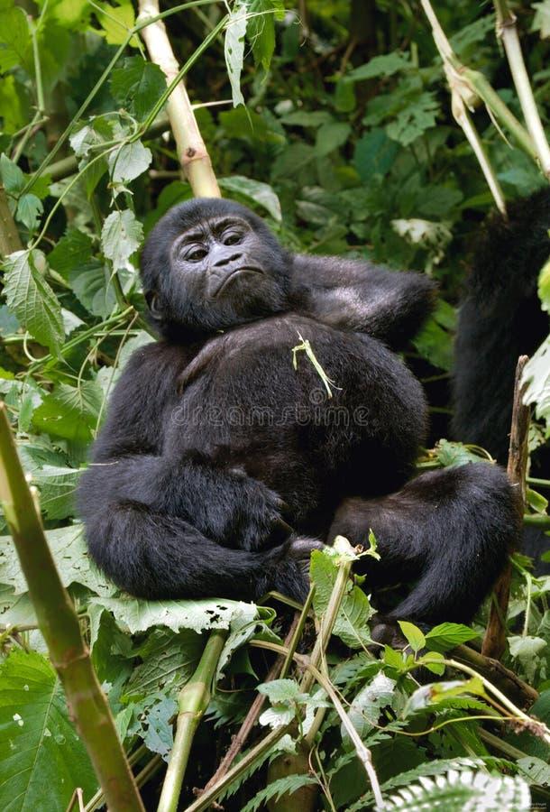 Горилла горы младенца на дереве Уганда Национальный парк леса Bwindi труднопроходимый стоковое фото