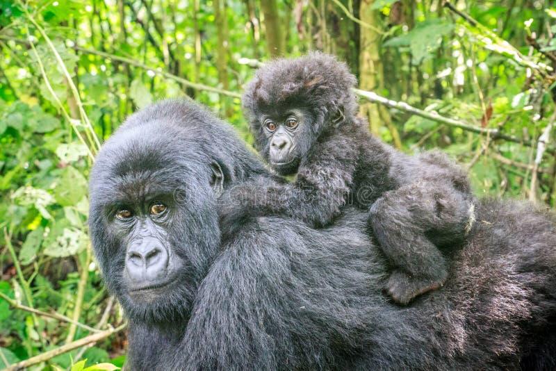 Горилла горы младенца на задней части его матери стоковые фотографии rf