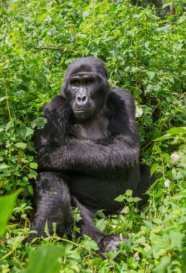 Гориллы горы в тропическом лесе Уганде Национальный парк леса Bwindi труднопроходимый стоковое фото
