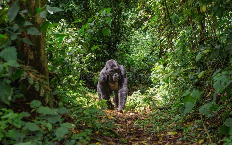 Гориллы горы в тропическом лесе Уганде Национальный парк леса Bwindi труднопроходимый