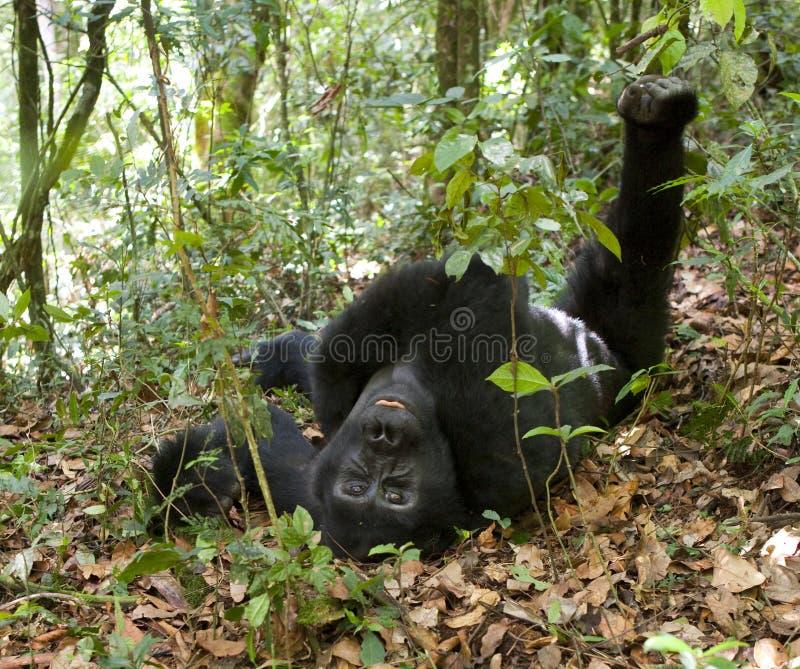 Гориллы горы в тропическом лесе Уганде Национальный парк леса Bwindi труднопроходимый стоковые фото