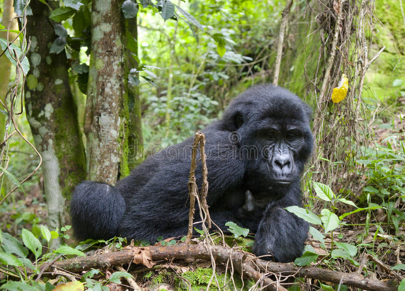 Гориллы горы в тропическом лесе Уганде Национальный парк леса Bwindi труднопроходимый стоковая фотография rf