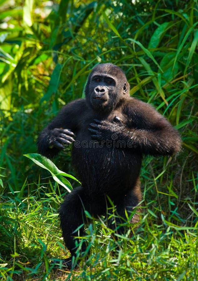 Гориллы низменности в одичалом Республика Конго стоковая фотография