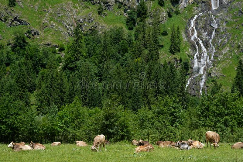 Горная вершина в долине Oytal с скотинами, лесом и водопадом стоковые изображения