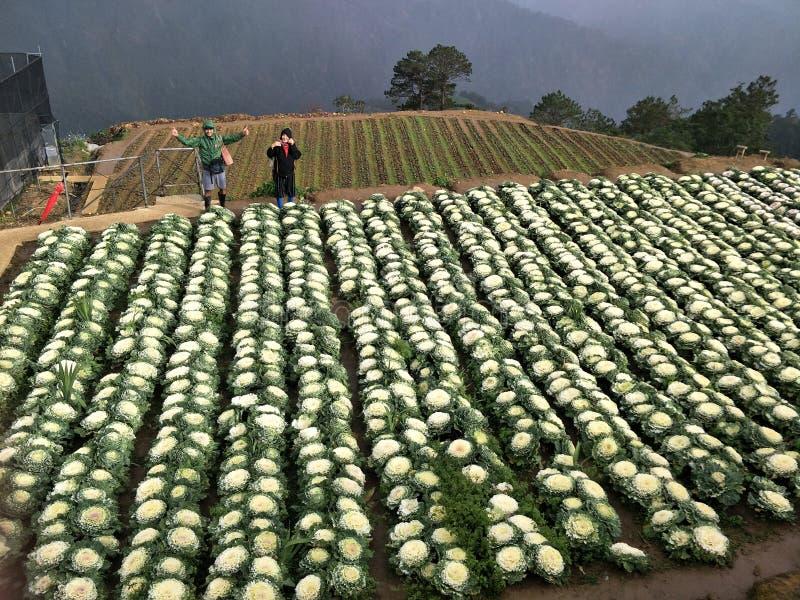 Горный вид сада цветков цветной капусты на Benguet стоковые изображения rf
