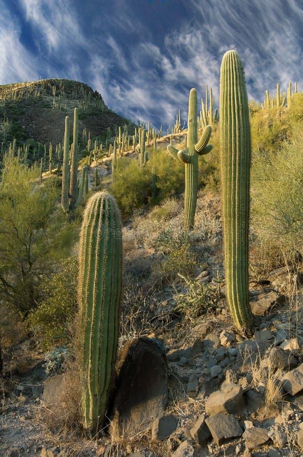 горный склон кактуса стоковые изображения rf