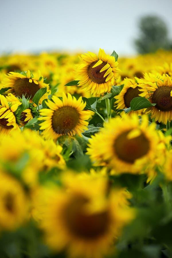 городок Тоскана солнцецветов san gimignano поля chianti backgroun красивейший стоковые фото