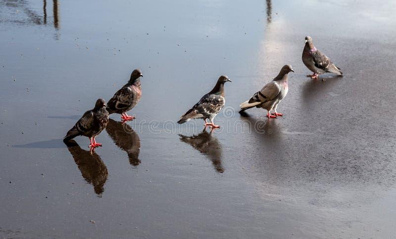 Городские голуби на влажном асфальте стоковая фотография