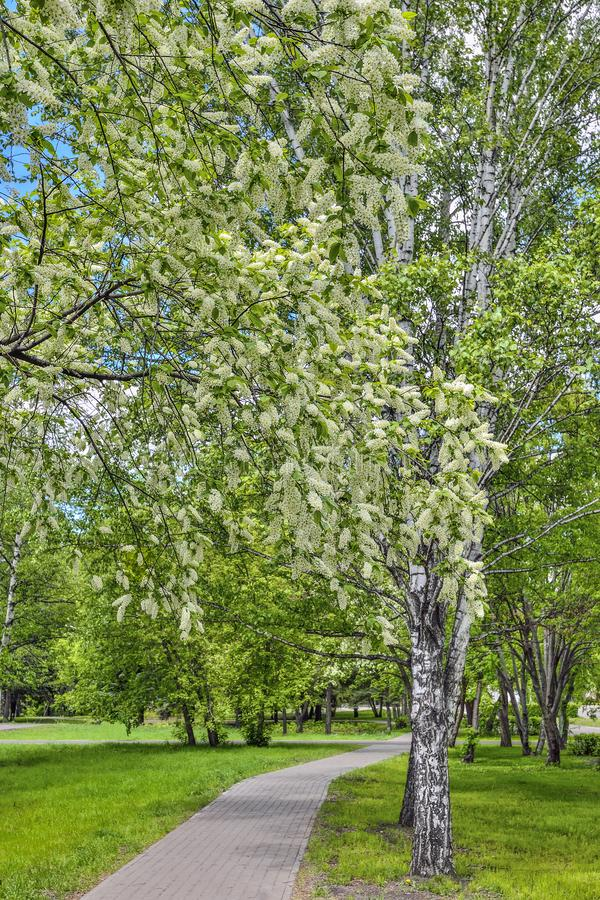 Городской ландшафт весны в парке города с цвести вишневыми деревьями птицы стоковая фотография