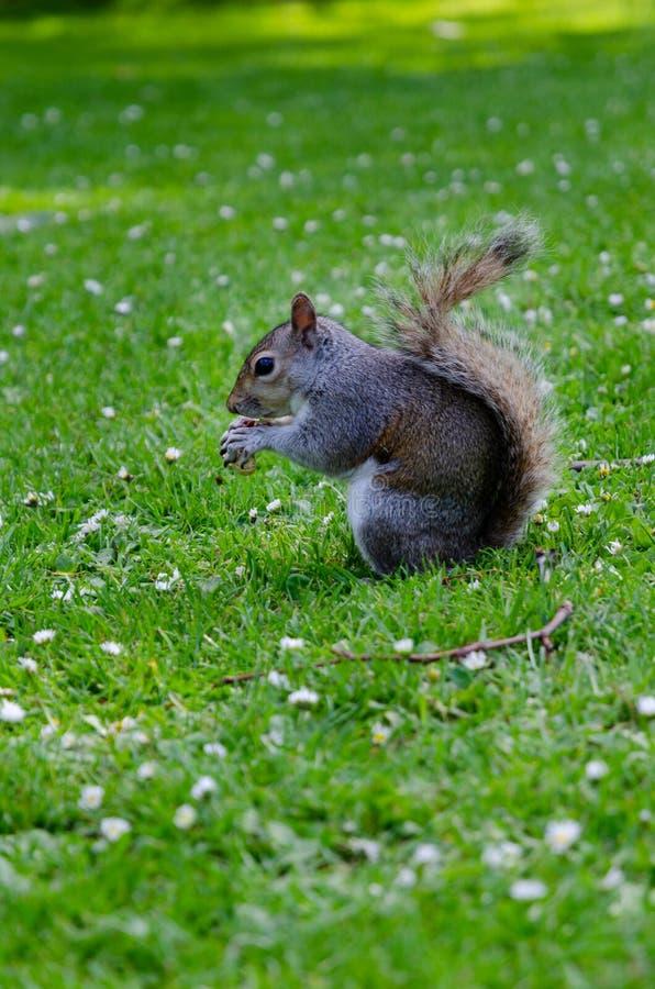 Город/Англия Лондона: Серая белка есть арахис в парке St James стоковые изображения rf