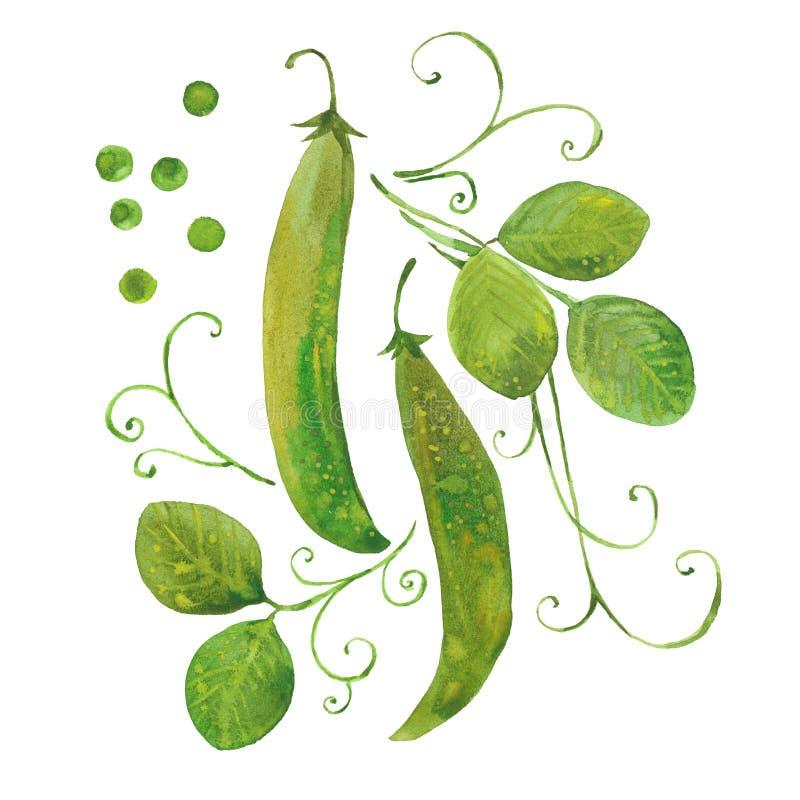 Горох акварели зеленый иллюстрация штока