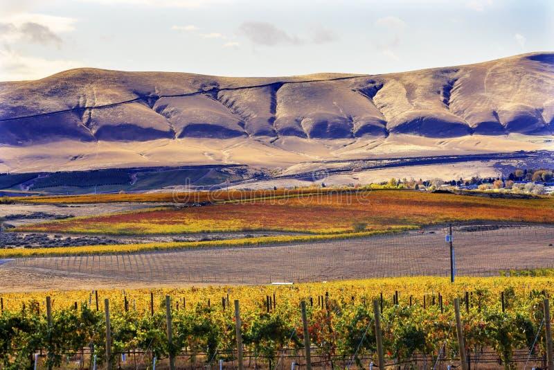 Город Вашингтон Benton горы желтых виноградников падения виноградин лоз красный стоковая фотография