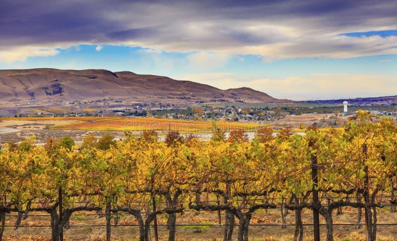Город Вашингтон Benton горы желтых виноградников падения виноградин лоз красный стоковые изображения rf
