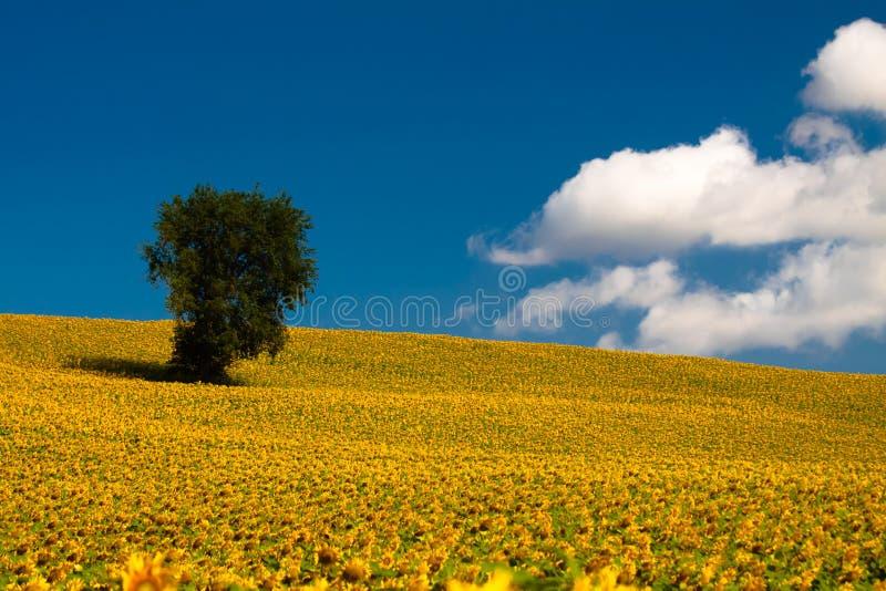 городок Тоскана солнцецветов san gimignano поля chianti backgroun красивейший стоковая фотография