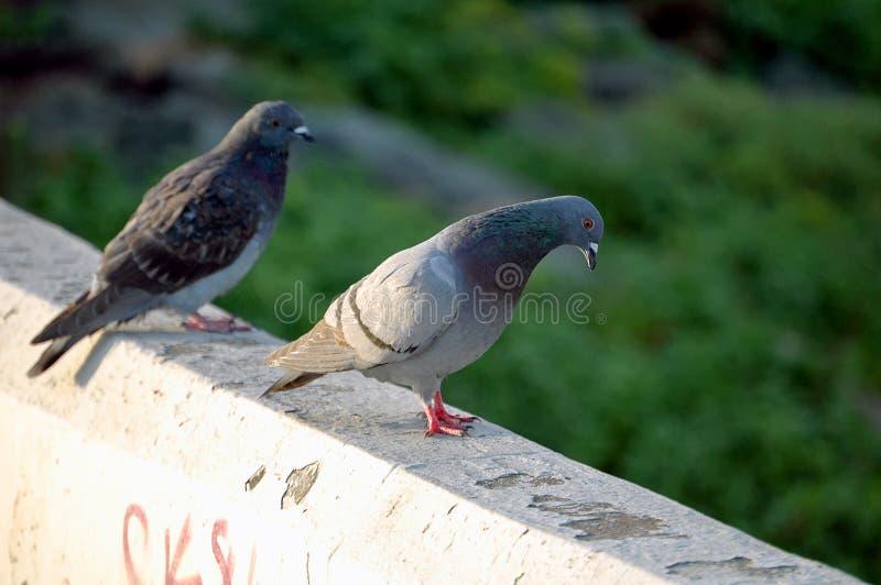 Городские голуби стоковое фото