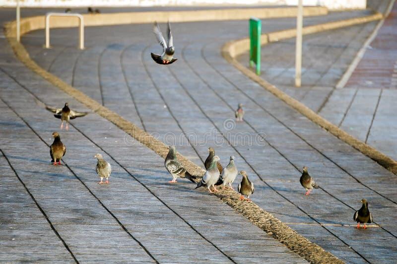 Городские голуби стоковые изображения