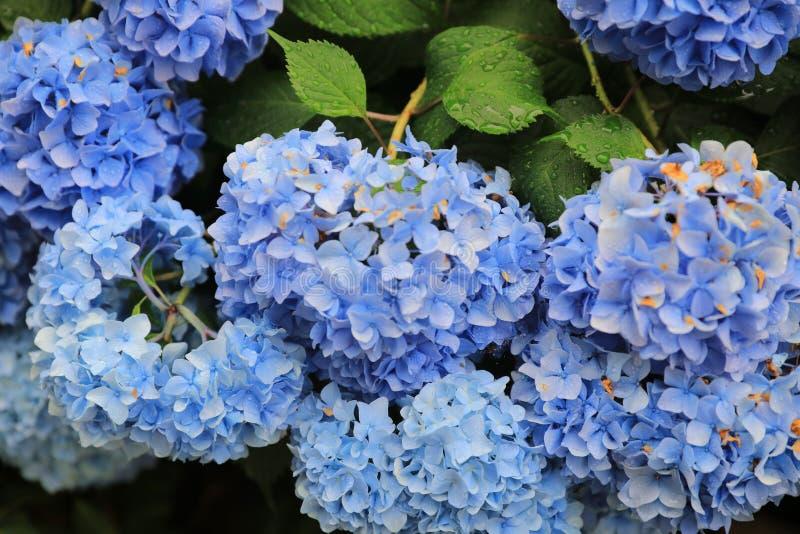 Гортензии гортензии голубые в лете стоковое изображение