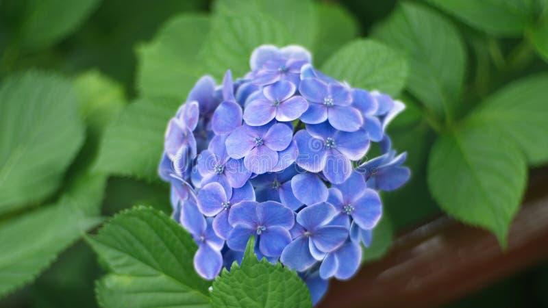 Гортензия в саде, букет a гортензии и красивый fl стоковое фото