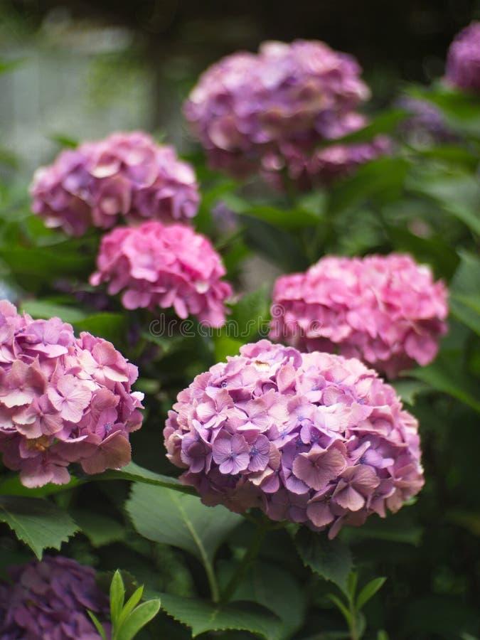 Гортензия в саде, букет a гортензии и красивый fl стоковые фото
