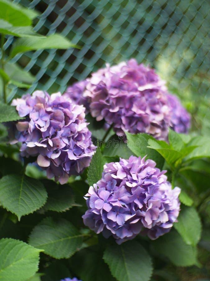 Гортензия в саде, букет a гортензии и красивый fl стоковая фотография rf