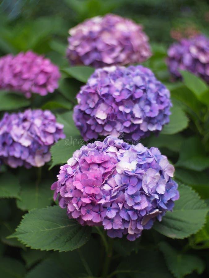 Гортензия в саде, букет a гортензии и красивый fl стоковые изображения