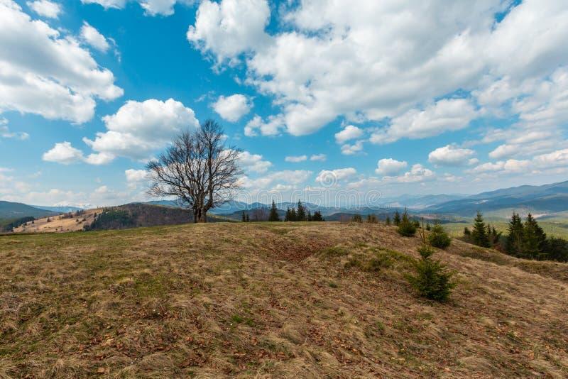Горы дерева бука весной стоковые изображения rf