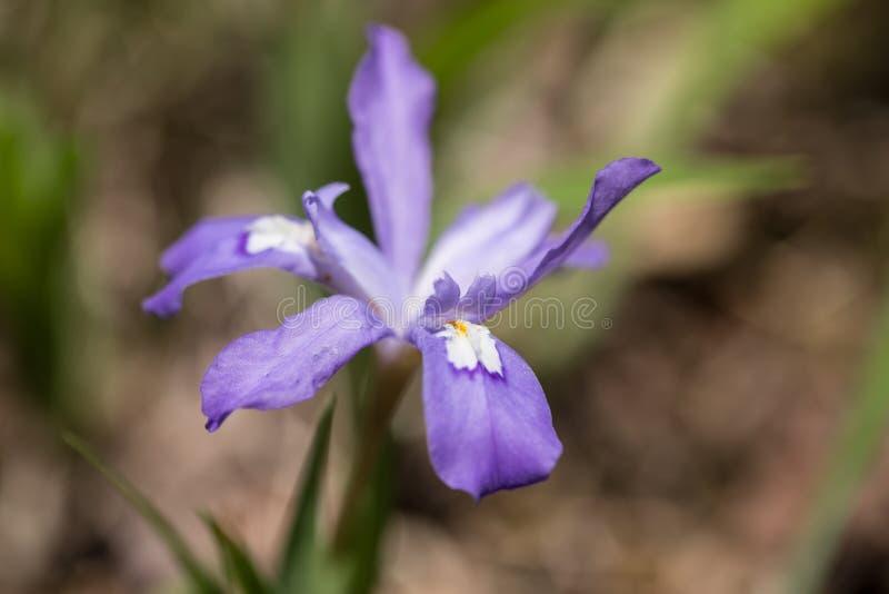 Горы Теннесси Wildflower бородатой радужки закоптелые стоковое изображение rf