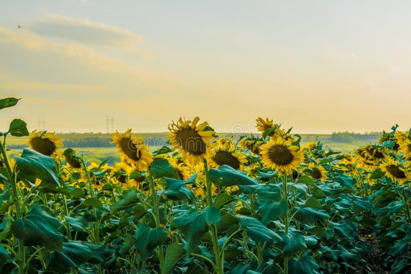 Горячие и теплые цвета и тени красивых ландшафтов России в регионе Ростов Локальные поля зацветая желтых солнцецветов, стоковые изображения