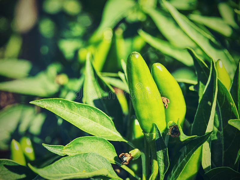 Горячий зеленый перец на заводе, ферма овоща стоковая фотография
