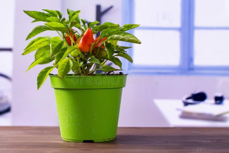 Горячий красный оранжевый перец chili с голубым окном стоковое изображение