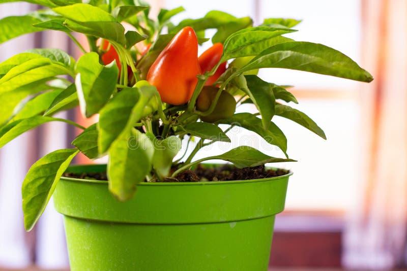 Горячий красный оранжевый перец chili с занавесами стоковые фото