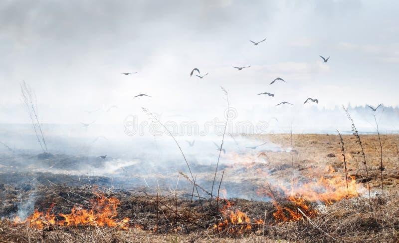 Горящая трава весной стоковая фотография rf
