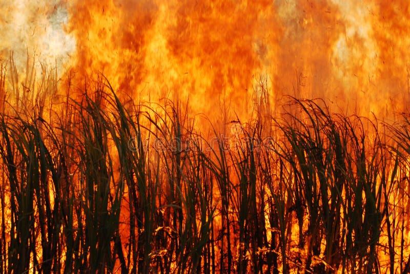 Горящий сахарный тростник стоковая фотография rf