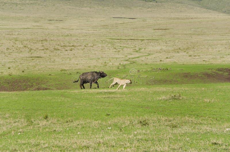 Гордость охотиться львов буйвола стоковое фото