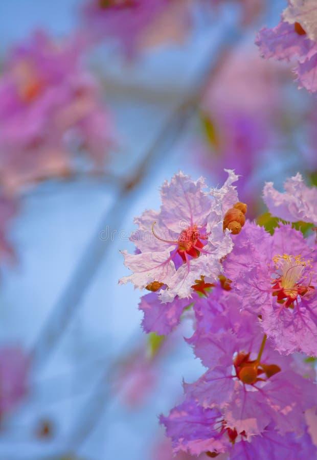 Гордость цветка Индии (цветок ферзя) стоковое изображение