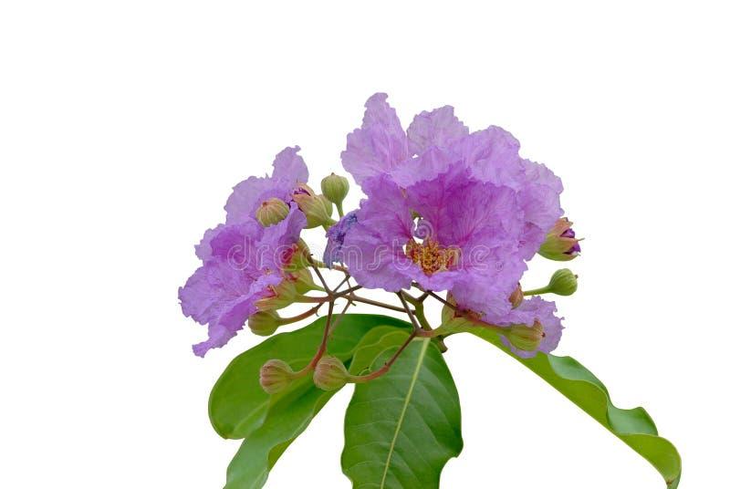 Гордость цветка Индии (цветок ферзя) стоковая фотография rf