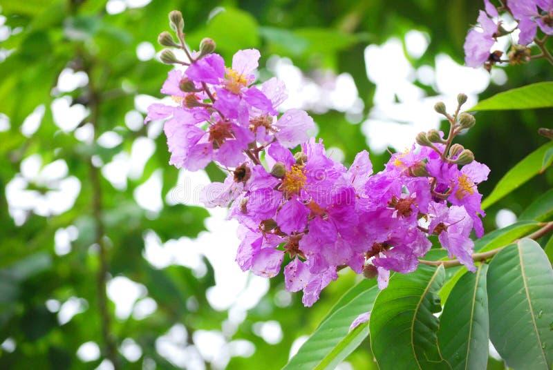 Гордость цветка Индии стоковое изображение rf