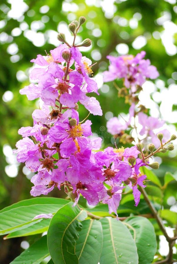 Гордость цветка Индии стоковые фотографии rf