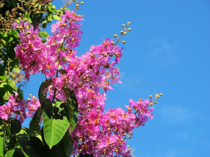 Гордость цветка Индии стоковое изображение