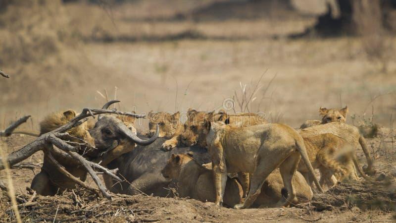 Гордость льва убивая африканский буйвола стоковое изображение