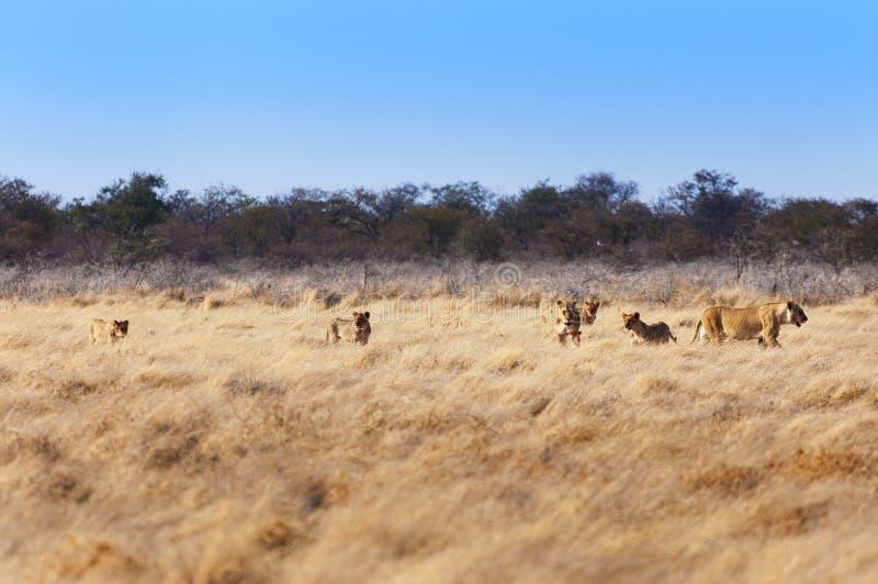 Гордость львов в саванне, в Намибии стоковые фотографии rf