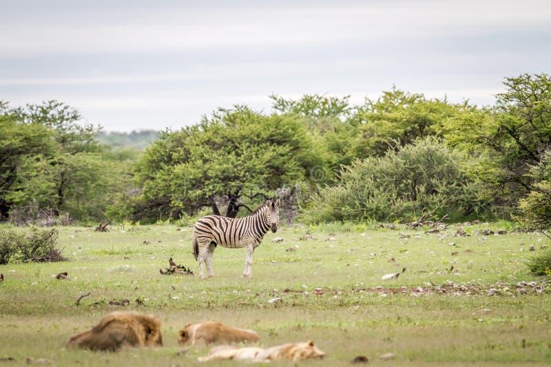 Гордость львов отдыхая перед зеброй стоковое фото