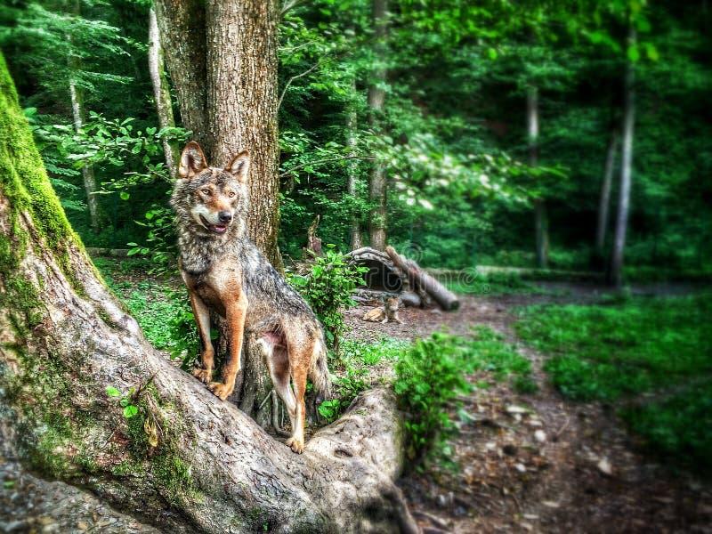 Гордый волк стоковое изображение rf
