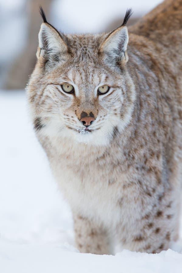Гордый рысь стоя в снеге Стоковое Фото
