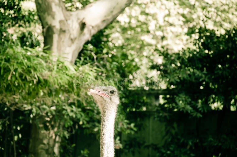 Гордый страус стоковое фото