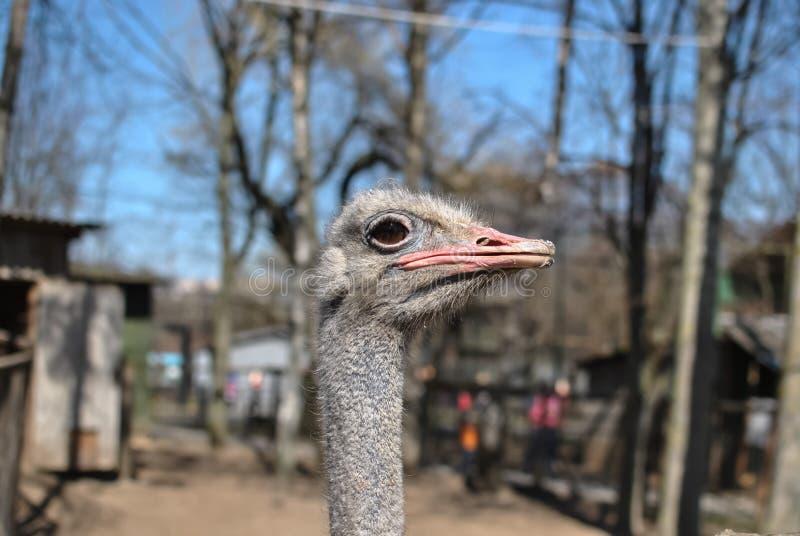 Гордый страус стоковое изображение
