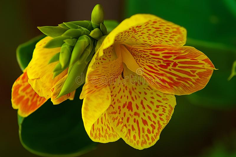 Госпожа Daffodil стоковые фотографии rf
