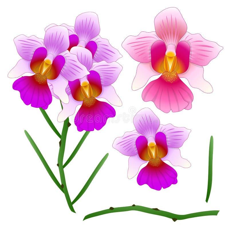 Госпожа Joaquim Орхидея Vanda Цветок соотечественника Сингапура белизна изолированная предпосылкой также вектор иллюстрации притя бесплатная иллюстрация