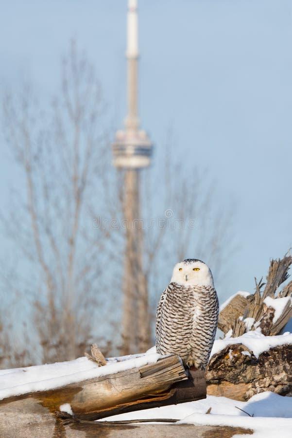 Гостиница Торонто сыча Snowy, Онтарио стоковые фотографии rf